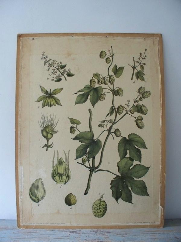 Oude botanische schoolplaat met hop plant SOLD
