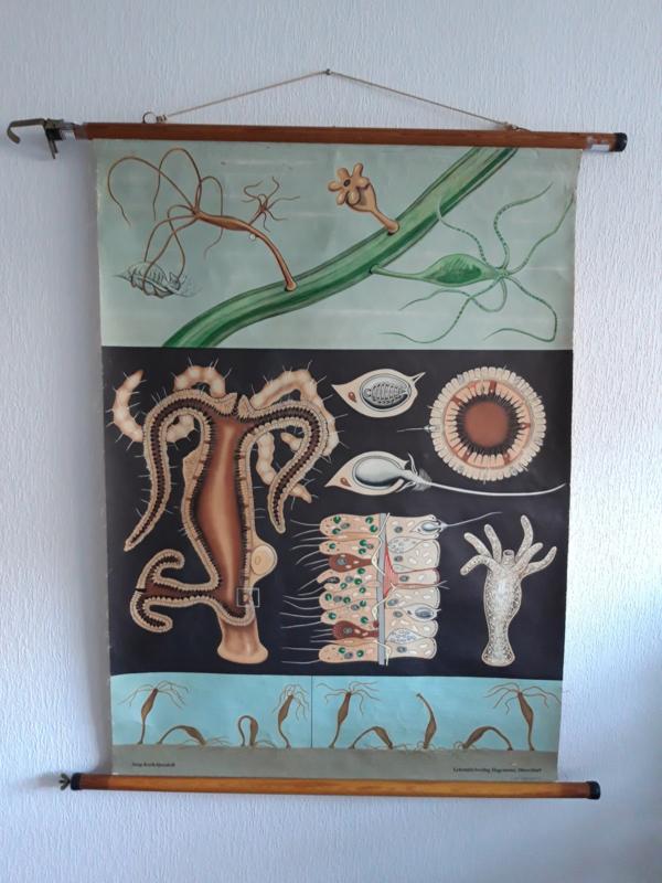 Oude botanisch schoolplaat waterplant/ zeewier