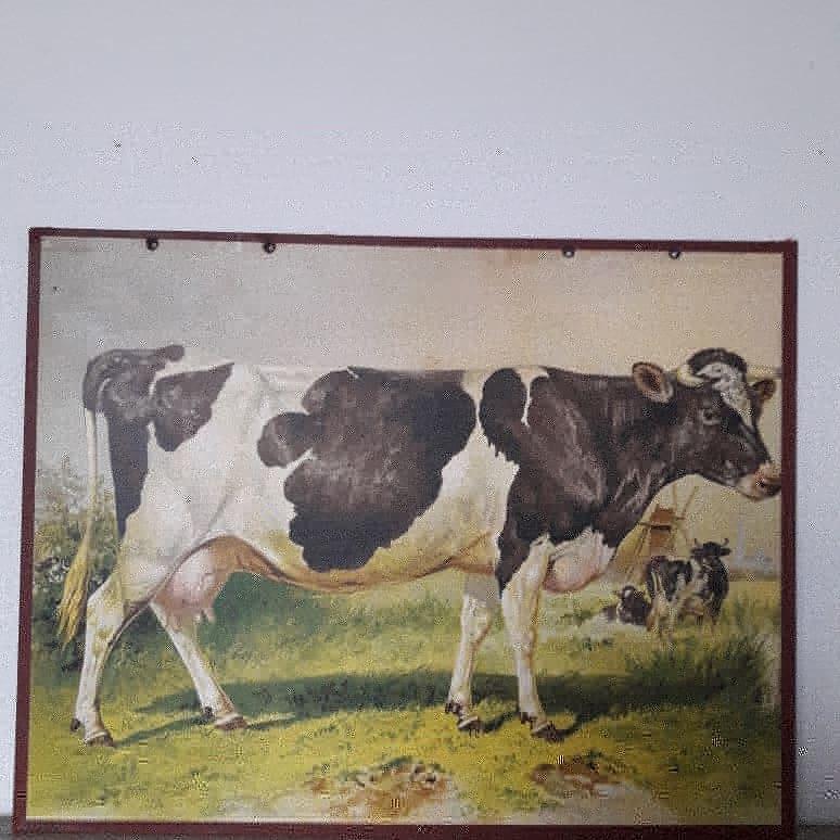 Antieke schoolplaat met de koe