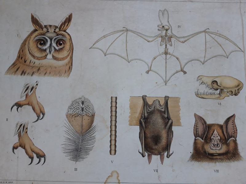 Oude schoolplaat met skelet vleermuis