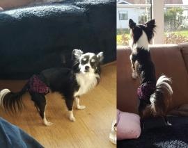 Monja met haar loopsheidsbroekje van Pretty pet