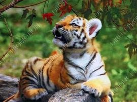 """Diamond painting """"Tiger cub"""""""