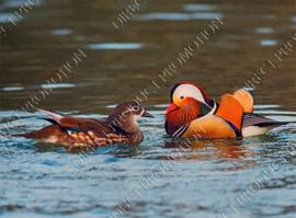 "Diamond painting ""Mandarin ducks"""