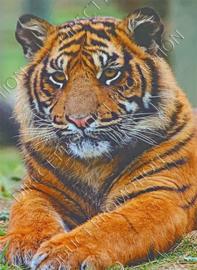 """Diamond Painting """"Tiger"""""""