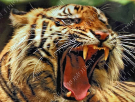"Diamond painting ""Roaring tiger"""