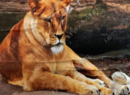 "Diamond painting ""Lioness"""