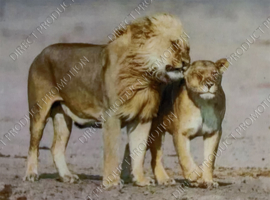"Diamond painting ""Lion and lioness"""