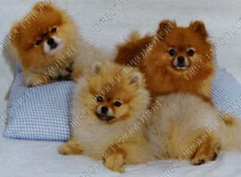 """Diamond painting """"Pomeranian puppy's"""""""