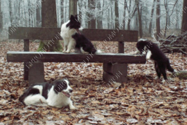 "Diamond painting ""Border Collies on bench"""