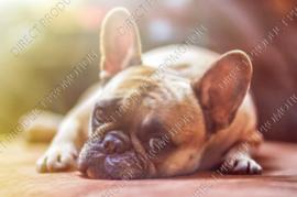 "Diamond painting ""French Bulldog"""
