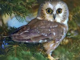 "Diamond painting ""Rough-legged owl"""