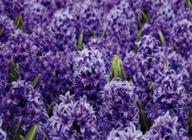 """Diamond painting """"Hyacinths"""""""