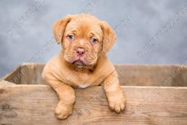 "Diamond painting ""Puppy Bordeaux dog"""
