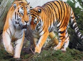 "Diamond painting ""Two tigers"""