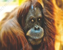 """Diamond painting """"Orangutan"""""""