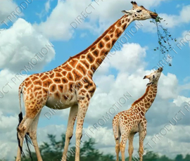 "Diamond painting ""Giraffe with cub"""