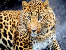 "Diamond painting ""Leopard"""