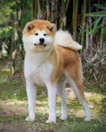 """Diamond painting """"Akita dog"""""""