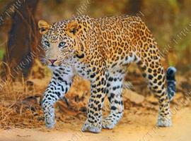 "Diamond painting ""Walking leopard """