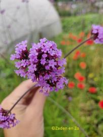Verbena Bonarsiensis Lilac