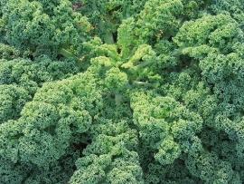 Boerenkool Westlandse Herfst (laat type)