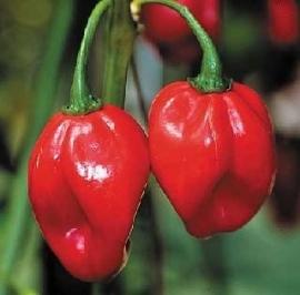 Hete Peper Jamaican Red