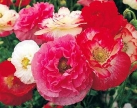 Papaver Indian Shirley gemengd