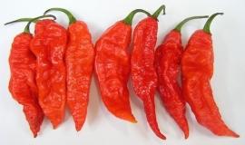 Hete Peper Bhut Jolokia Red