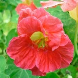 Oost-Indische kers Cherry Rose