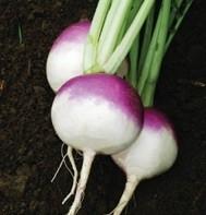 Raap Purple Top White Globe