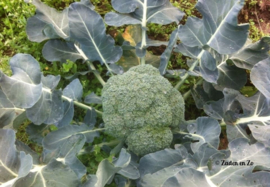 Broccoli Groene Calabrese Early