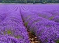 Lavendel Common English