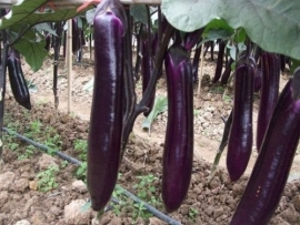 Aubergine Long Purple