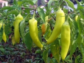 Hete Peper Hungarian Yellow Wax