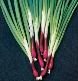 Lente-ui Welsh Onion Red