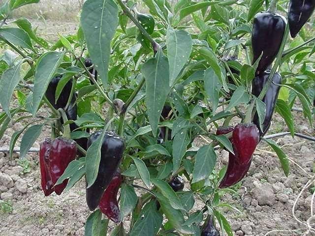 Hete Peper Jalapeño Purple