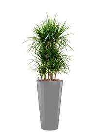 Dracaena Marginata + ronde hoogglans kunststof plantenbak L37xH70 (zilver)