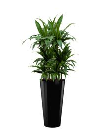 Dracaena Janet Craig + ronde hoogglans kunststof plantenbak D37xH70 (zwart)