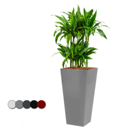 Dracaena Arturo (Drakenboom) + vierkante hoogglans kunststof plantenbak L35xB35xH70 (zilver)