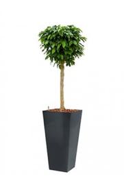 Ficus Benjamina Colummar + hoogglans kunststof plantenbak L35xB35xH70 (antraciet)