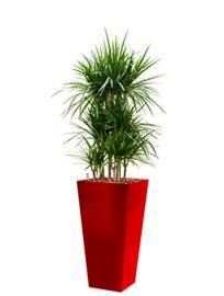 Dracaena Marginata + vierkante hoogglans kunststof plantenbak L35xB35xH70 (rood)