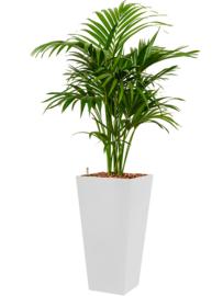Kentia (Howea) forsteriana + vierkante hoogglans kunststof plantenbak L35xB35xH70 (wit)
