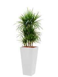 Dracaena Marginata + vierkante hoogglans kunststof plantenbak L35xB35xH70 (wit)