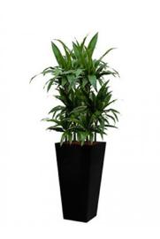 Dracaena Janet Craig + vierkante hoogglans kunststof plantenbak L35xB35xH70 (zwart)