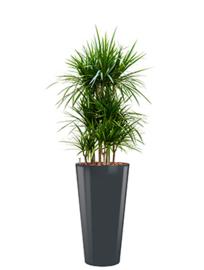 Dracaena Marginata + ronde hoogglans kunststof plantenbak L37xH70 (antraciet)