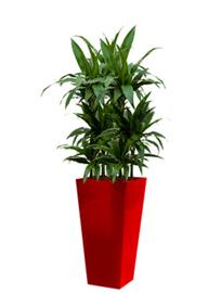 Dracaena Janet Craig + vierkante hoogglans kunststof plantenbak L35xB35xH70 (rood)