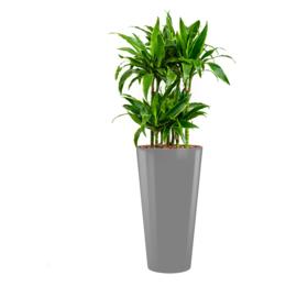 Ronde hoogglans kunststof plantenbak D37xH70 (zilverkleur) + Dracaena Arturo (Drakenboom)