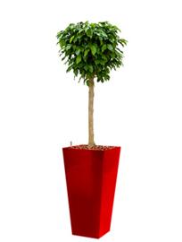 Ficus Benjamina Colummar + hoogglans kunststof plantenbak L35xB35xH70 (rood)