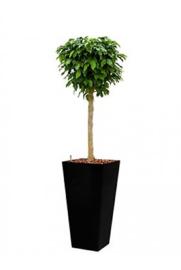 Ficus Benjamina Colummar + hoogglans kunststof plantenbak L35xB35xH70 (zwart)