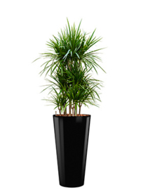 Dracaena Marginata + ronde hoogglans kunststof plantenbak L37xH70 (zwart)